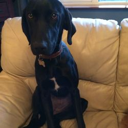 Lost dog on 08 Dec 2014 in Killarney. Shiney black short hair. Mix between weimaraner and red setter. Tall and thin build. Answers to the name Coco. contact 0876707224