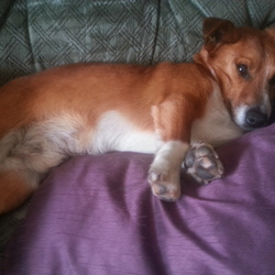 Lost dog on 08 Feb 2013 in West Cork. Missing since wednesday in the Ballinascarthy, clonakility area. Distinctive 4 white paws and mainly hazel coat.
