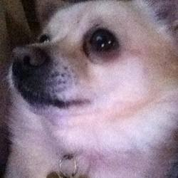 Lost dog on 08 Feb 2016 in Naas, Co. Kildare. Small cream coloured Chihuahua  Male  Red collar  Not microchipped  Last seen on the Sallins road heading towards Monread at around 10:00 AM