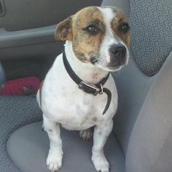 Lost dog on 08 Jan 2014 in Perrystown, Dublin 12. Brown and white staff/terrior wears a black collar with silver studs. Very friendly.