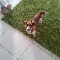 Lost dog on 08 Jan 2015 in Limerick. Missing since Wed 7th Jan in Ballysheedy area - a female jack russell & young female red setter/retriever mix. They are both microchipped & setter has an identity tag with contact tel no's. They are likely to be together. Tel 087 7420620 or 0860228833.