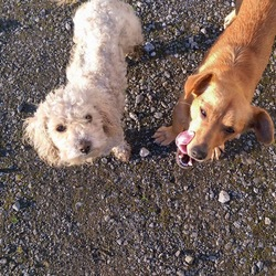 Lost dog on 08 Jan 2017 in Cloonfad . Both dogs missing answer to Tilly and Lilly , terrier x chihuahua and other is a small bichon frise