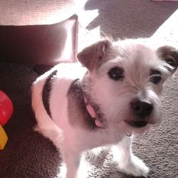 Lost dog on 08 Jan 2017 in lettermullen galway. bizzy 15yrs old tri  long haired jack Russell neutered female wearing a green collar.last seen on sun 8th jan in lettermullen galway