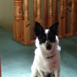 Lost dog on 08 Jul 2015 in santry. LOST in the Santry area since 7.45 7th July his name is Max he's a jack Russell cross very friendly dog very worried about him if found please contact myself or Eugene on 0876805833