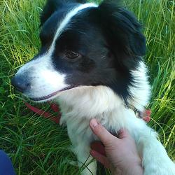 Lost dog on 08 Jun 2015 in Rosscarbery, Co Cork. Lost - white collie with black head. Medium sized male ( not yet neutered or chipped) Very friendly, about 2 yrs old.
