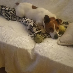 Reunited dog 08 Jun 2017 in Dublin 24. Lexi is a 3 yr old male jack russell lost today in dodder valley park dublin 24. Chipped to clondalkin animal aid.phone 0851175044