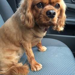 Lost dog on 08 Mar 0016 in Ratoath. Ruby is a Caviller King Charles, she is red in colour and has been missing since 8th March 2016. She is wearing a collar with a tag and our number on it. She is also microchipped. Very friendly! Please keep an eye out family are worried!
