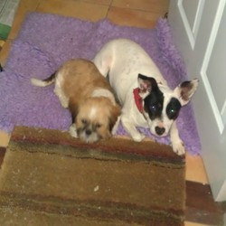 Lost dog on 08 Mar 2012 in Montenotte, Cork. A tan and brown shitzu pup, under a year old.  He answers to the name of Gizmo and was wearing a brown leather collar when he went missing.  He was last seen at 1pm on 8.3.12 in the Montenotte area of Cork city.