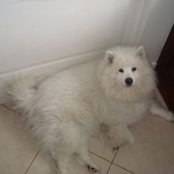 Lost dog on 08 Mar 2015 in Laurel lodge/castleknock . Female Samoyed,