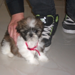 Lost dog on 08 Nov 2014 in Newbridge, Co. Kildare. Stolen. Shih Tzu Puppy (4 months), Tan brown & white with small bits of black on face and near her ears.  Stolen from car at Tesco Newbridge Car Park on Saturday 8th November, 9pm approx.