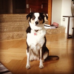 Lost dog on 08 Nov 2015 in Dublin 14. LOST Lexie, 6 year old Border Collie (short hair) Dublin area, Rathfarnham/Churchtown specifically. Very friendly. If you have seen Lexie or find her please call Rob on 086-2545830 or Sorcha on 083-8079965