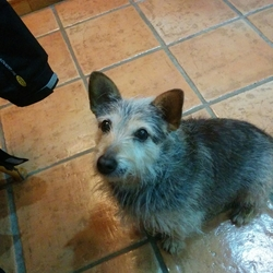 Lost dog on 08 Nov 2015 in Meelick, Co. Clare. Small terrier/mongrel, elderly, family pet. Quiet, friendly dog. Last seen on Sunday 08 Nov, near the Windy Gap in Meelick, Co. Clare.