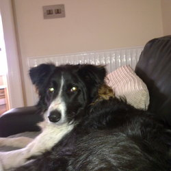 Lost dog on 08 Oct 2011 in Scalp, Castledaly. Black and White very friendly Collie wearing a red collar. She is spayed. She answers to the name Bazz.
