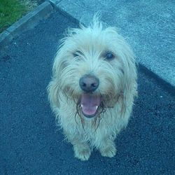 Lost dog on 09 Aug 2013 in Ballina County Mayo. Baxter is a beloved family pet and very much missed by the little girl who owns him. He was last seen on Friday 9th August in the Bunree area of Ballina. He may have been stolen. If you have any information please get in contact 0879809829