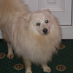 Lost dog on 09 Aug 2013 in leitrim. my dog is missing/stolen since 9/8/13  japanese spitz 3half years old  mircochipped  missing from leitrim but cud b anywhere