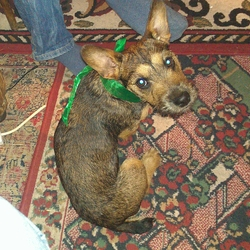 Lost dog on 09 Dec 2012 in Castleknock. Small mixed breed female