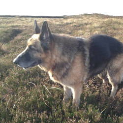 Lost dog on 09 Feb 2015 in 3 Rock. South Co. Dublin. 12 year old female German Shepherd called Layla. She is quite deaf. Is wearing muzzle and red collar. Very gentle