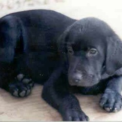 Lost dog on 09 Jan 2012 in MALLOW, CO. CORK. BLACK LABRADOR PUPPY 10 WEEKS OLD MISSING. NO COLLAR. MISSING FROM NORTH CORK AREA