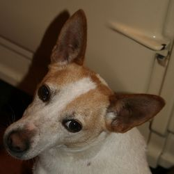 Lost dog on 09 Jan 2014 in Co Cork. Jack Russel Terrier x Corgi, 8yrs, neutered, pale yellow and white, long tail, missing from Carrigadrohid, 9th Jan 2014 with young tan & white JRT