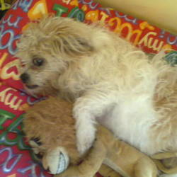 Lost dog on 09 Jan 2016 in clondalkin. Missing since last night 09/01/2016 answers to peaches