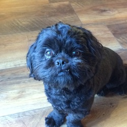 Lost dog on 09 Jan 2016 in Corrandulla . Black shitzu, microchipped and neutered, missing for the last 2 days. Corrandulla area, co. Galway Our 3 kids have their heart broken. Please bring him back. Reward!