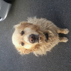 Lost dog on 09 Jul 2012 in Dromin,Co. Louth. Missing golden retriever. Much loved family pet. 7 years old.He is a golden colour. Medium sized dog.Is wearing an electric fencing collar.