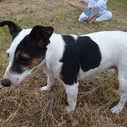 Lost dog on 09 Jul 2013 in Ashford Wicklow. Jack Russell went missing in Glanmore Ashford, possible sighting at Devels Glen Wood entrance