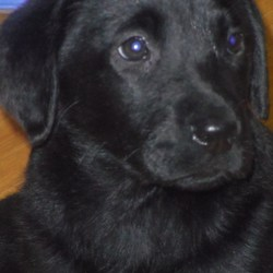 Lost dog on 09 Jul 2013 in glasnevin-finglas. Our family dog went missing on 09/07/13. She is a black Labrador just6 mounth. She has no collar on her.Could have been wandering around parks.she missing from Glasnevin,Dublin11. Many thanks for any information.Phone 0851562300