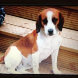 Lost dog on 09 Jul 2013 in Ticknock, Sandyford, D 18. Lucy is a very friendly beagle cross. Mostly brown and white with lots of dark spots on her belly.  ........Lucy has returned TG - all well.