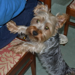 Lost dog on 09 Mar 2014 in Bray, Dublin. Missing Male silver yorkshire PLEASE contact me on : 0857586997 He was wearing a dark blue collar with a scarf on his neck. He was lost in a car park in Bray.