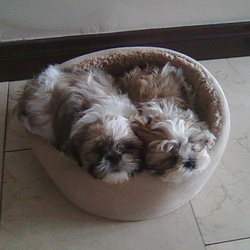 Lost dog on 09 May 2013 in Donaghmede, Dublin. Two brown and white shih tzu's gone missing from the donaghmede area, if you seen or have found please contact 0862648870 or 0862200164