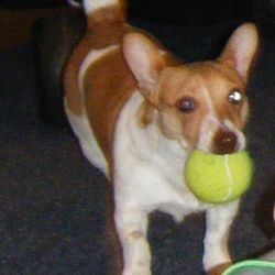 Lost dog on 09 May 2013 in Dublin 3. Jack Russell Terrier,male,11 months old  lost close to Dublin 3 - Dublin 1. Please contact 0851346469