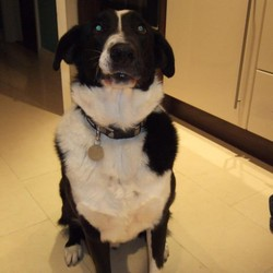 Lost dog on 09 Oct 2011 in Old Baen, Tallaght. Rio - 11 Year Old Black and White, short haired collie. Last seen in Old Bawn, Tallaght on Sunday 9th.