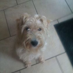 Lost dog on 09 Oct 2012 in Maynooth. Lakeland Terrier fawn coloured. Missing since 9th  