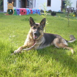 Lost dog on 09 Oct 2012 in skibbereen. German shepherd missing since 09.10.2012 in letter near skibbereen.Please contact 087 948 19 49 if y have seen her.family pet.