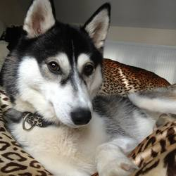 Lost dog on 09 Sep 2013 in Rathfriland. Playful young husky, brown eyes, wearing leopard print collar