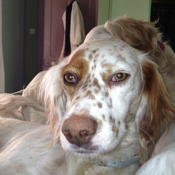 Lost dog on 09 Sep 2013 in Slane. Dolly, A beautiful white english setter with red spots, 3 years old