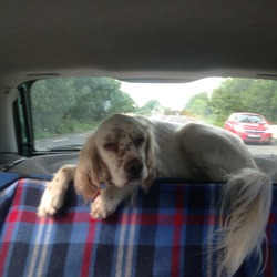 Lost dog on 09 Sep 2013 in sSlane. Snow, A beautiful white english setter with brown spots, 3 years old