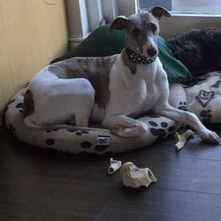 Reunited dog 09 Sep 2017 in kilmacanogue djouce . UPDATE...R.I.P....***STOLEN*** My whippet tink is stolen from my home kilmacanogue djouce area Wicklow in the past couple of hours there are two witnesses! Please message me if seen or hear anything. Please SHARE!! . Possible sighting in dun laoughaire area. This dog will not harm a fly if seen just pick her up and contact me please. I need her home. Contact 0870904053 With any information