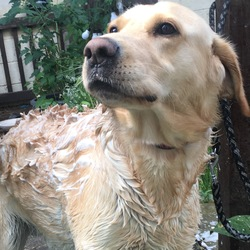 Reunited dog 09 Sep 2017 in Leixlip, Kildare . Answers to Charlie. Very energetic but friendly and loving. Large male golden Labrador, very strong. Approximately 2 years old. 1-3 years old possible. Previous rescue dog.