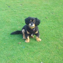 Lost dog on 10 Apr 2016 in went missing in baltyboys between Valleymount and Blessington. Black Spaniel king Charles cross