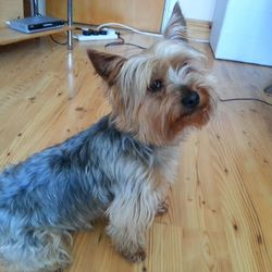 Lost dog on 10 Dec 2014 in Owermore,Headford.Co.Galway. Yorksher Terreier