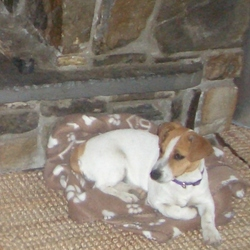 Lost dog on 10 Feb 2010 in Ennis, Co. Clare. Lost Jack Russell, Ennis Town, Co. Clare. Much loved pet, please call 0851790217. Purple Collar - 8 months, in pup.