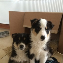 Lost dog on 10 Feb 2014 in Rathangan, Kildare. 2 puppies (Tilly - female & Ted - male) missing from Rathangan area Kildare. Collie/husky cross, 4 months old