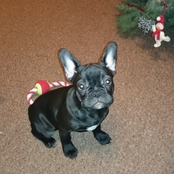 Lost dog on 10 Feb 2016 in Ballymount Dublin 22.  Lost Dog! Reward 600€! Lost French Bulldog female name is Tisa morning 10th February in Ballymount Industrial Estate Dublin 22, She is 1.6 Years old all black and friendly. Please hold onto her if you find her and contact 0852455156 or 0860899477 Her family need her home .. 😓 😪 we will reward people we really need her back to home