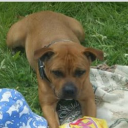Lost dog on 10 Jan 2016 in kiltipper . Hi can u post this add on ur page?�  My staffy dog got out of my house on the early hours of the 10 / 01 / 16 in deerpark estate kiltipper dublin 24. she is about 8 years old. She is brown and white. And had a black collar on her she is chipped also.  Offering a great reward