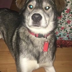 Lost dog on 10 Jan 2018 in Clonee . Lola, missing from Clonee Co.Meath / Dublin 15 area since Wednesday 10th Jan 2017. Chipped & spayed with collar & contact info attached. Possibly seen on dunboyne to maynooth road.