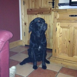 Lost dog on 10 Jul 2013 in Rathfarnham. Black retriever/collie with white patch on his front. His name is Paddy and he is very friendly. Please contact Sarah on 0857443648