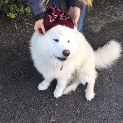Lost dog on 10 Jul 2016 in Kildare. Missing Samoyed Husky. Reward offered for safe return. Missing from our home since Sat July 10. We live in Kildare, but close to border of Meath and Westmeath.