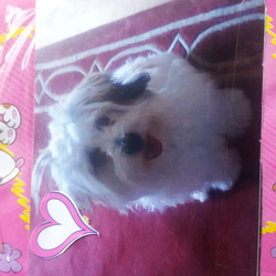 Lost dog on 10 Nov 2012 in carrigaline, cork. Lost in Carrigaline on Saturday 10 Nov. Maltese shzitzu, white with 2 small brown patches. He is called Jovi and should answer to his name. 2 years old and quite active. Would apprecite any information on his whereabouts.